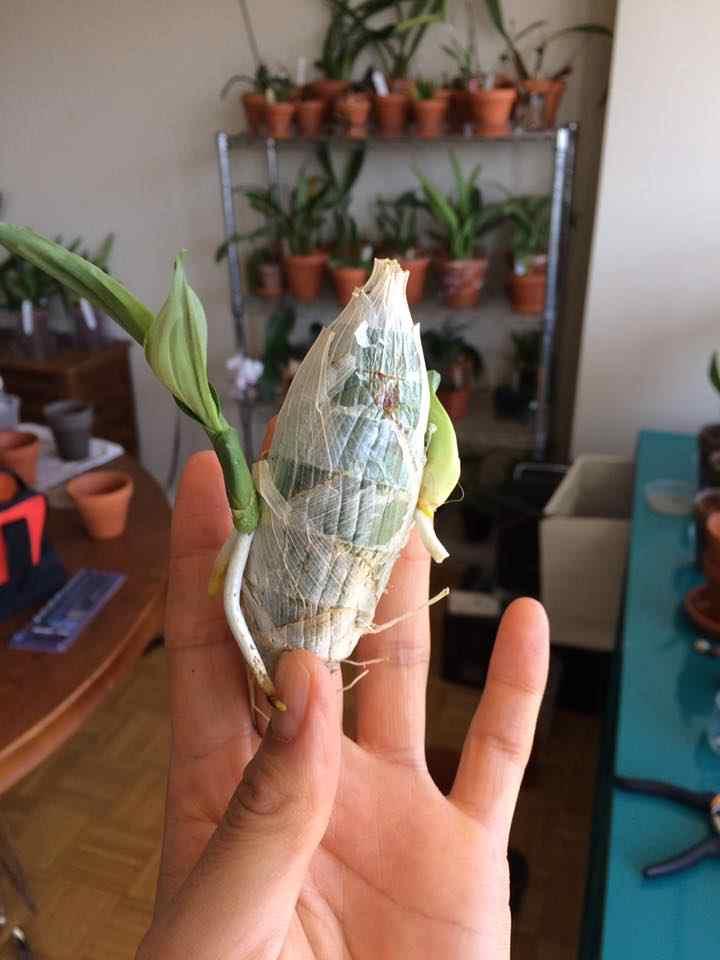 орхидея морков