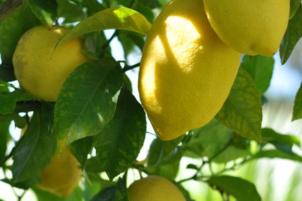 вредители по лимоните